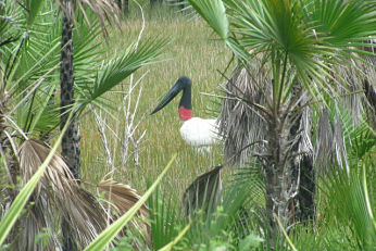 jabiru stork at Belzie Boutique Resort & Spa