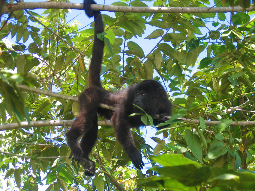 Baboon in tree - Belize Baboon Sanctuary
